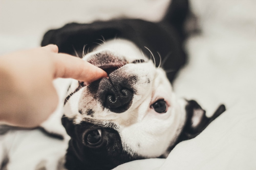 white and black dog biting person's finger