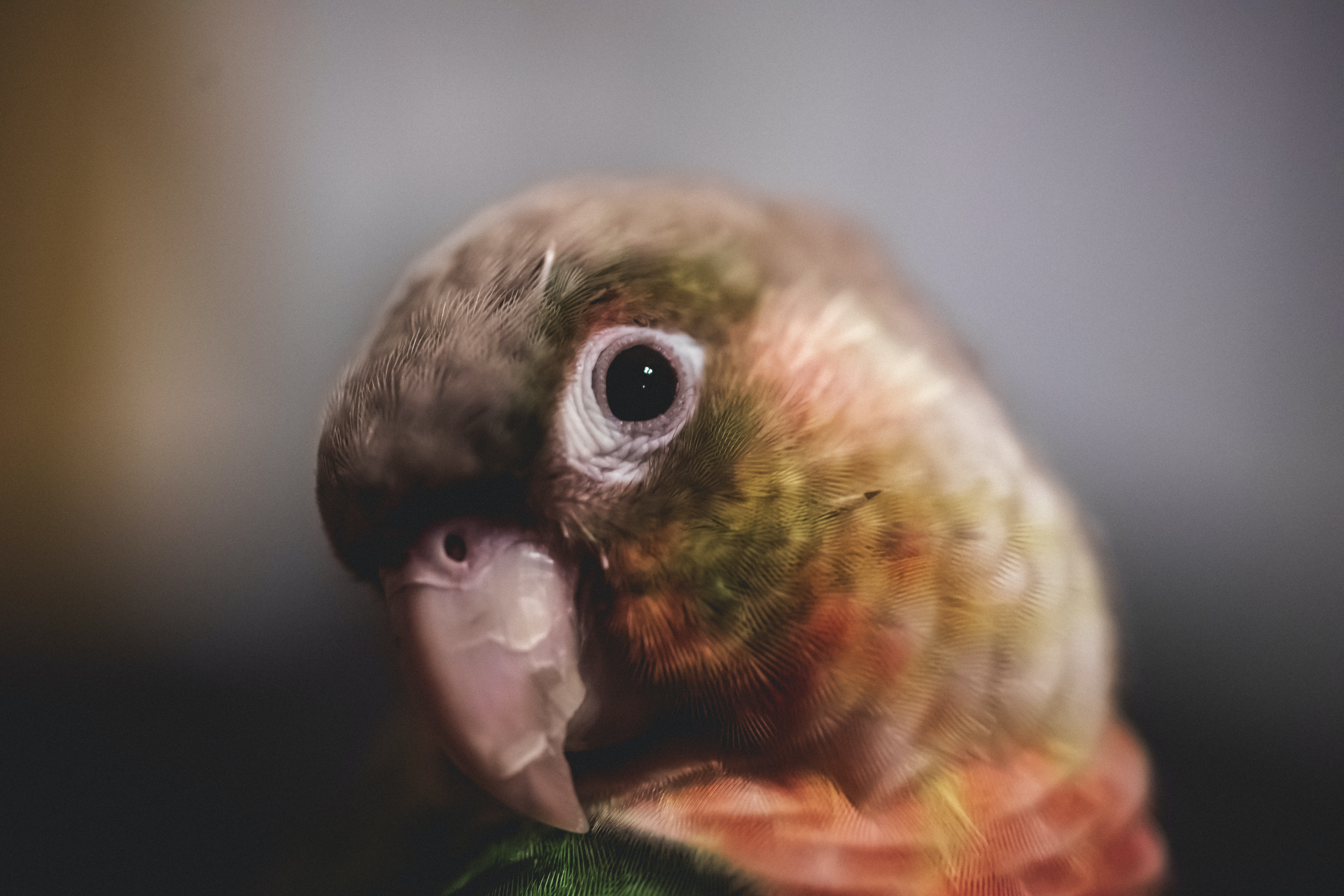 closeup photography of red and brown bird