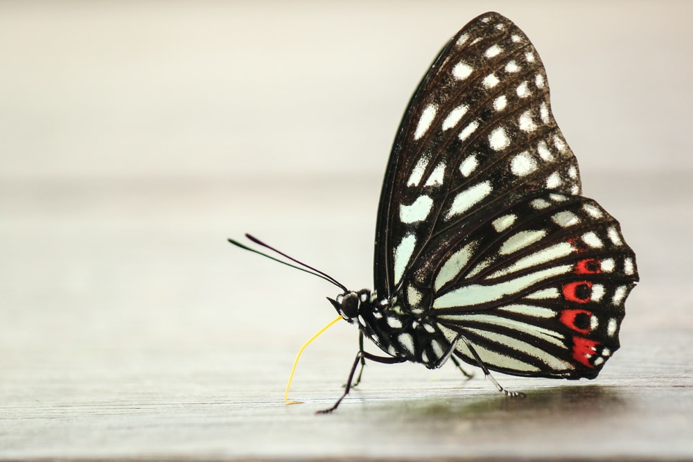 black and white papilio butterfly