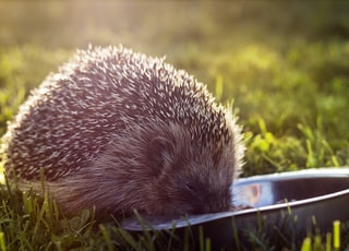 selective focus photography of hedgehog eating on green grass field