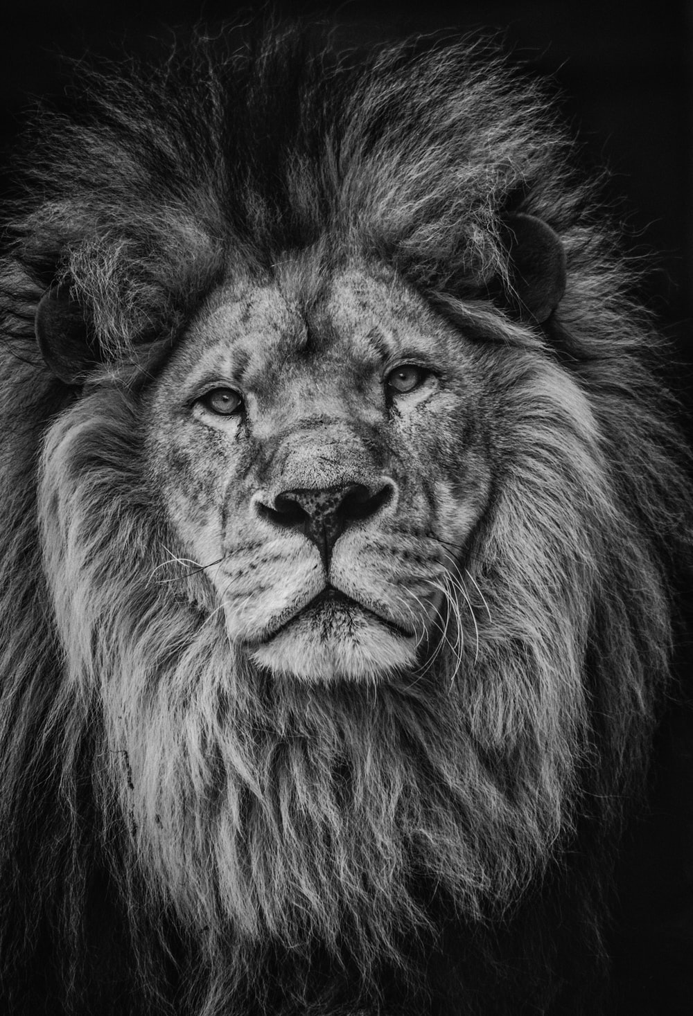 grayscale photography of lion