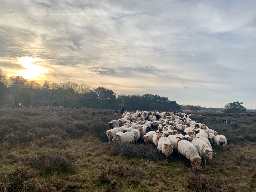 herd of white sheep on green field during sunset