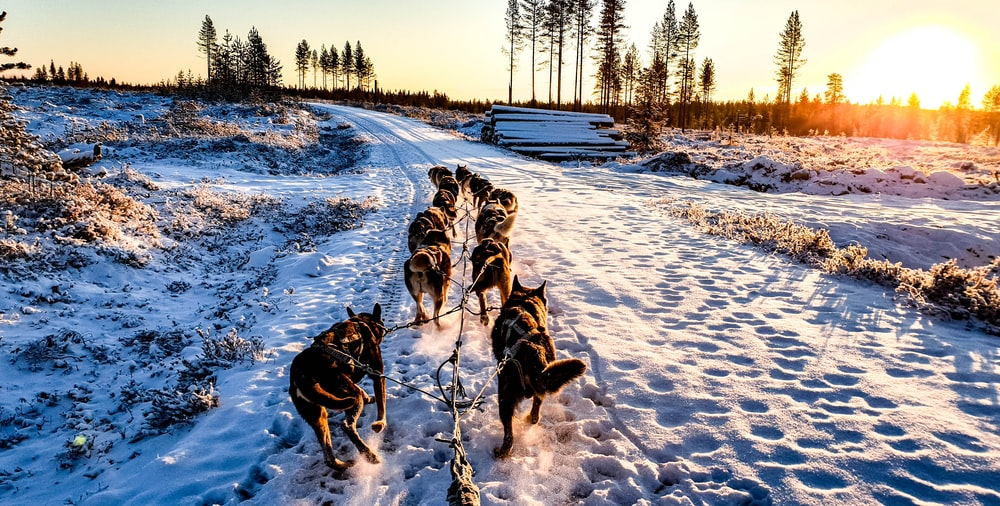 pack of dogs