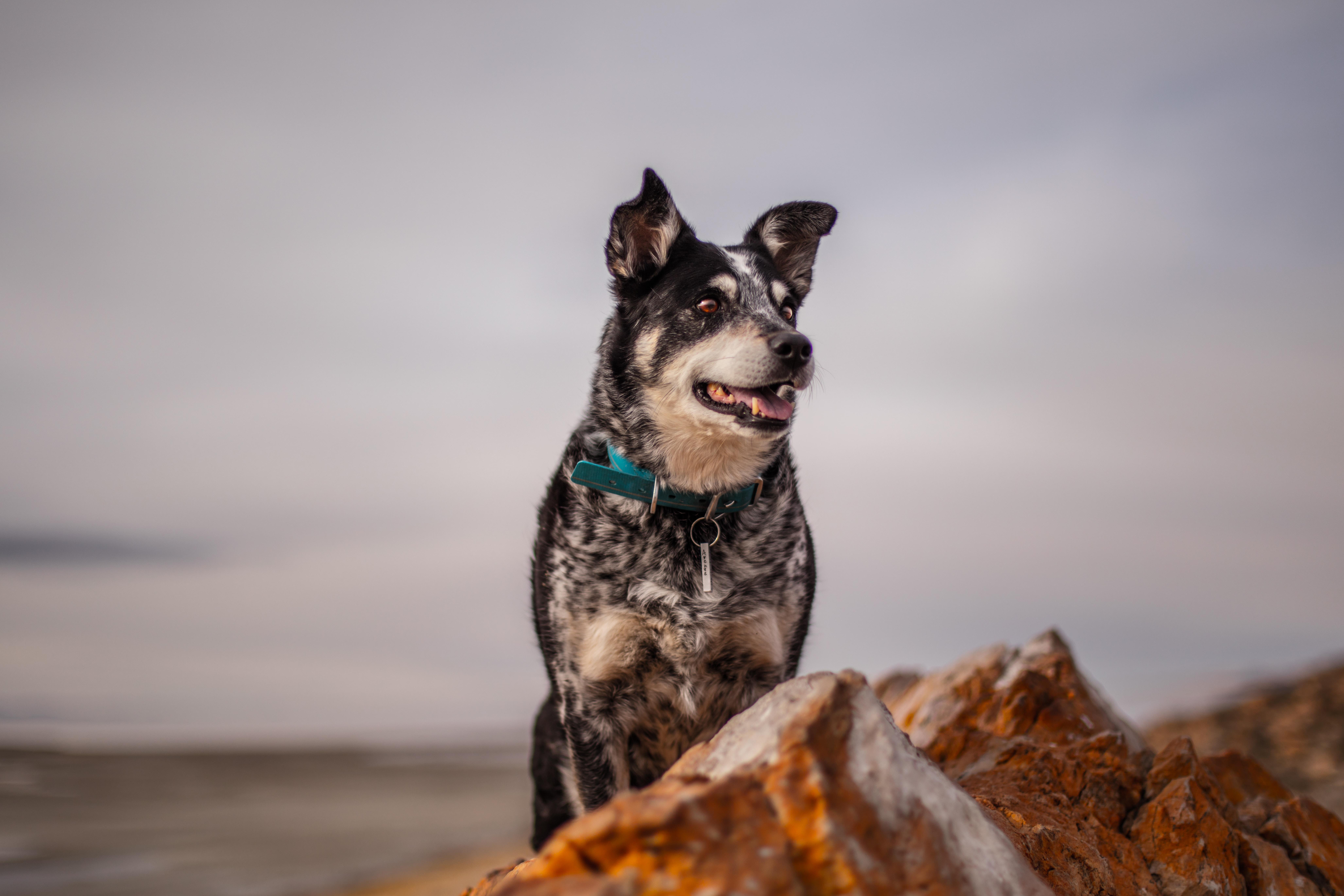 black and beige dog on rock
