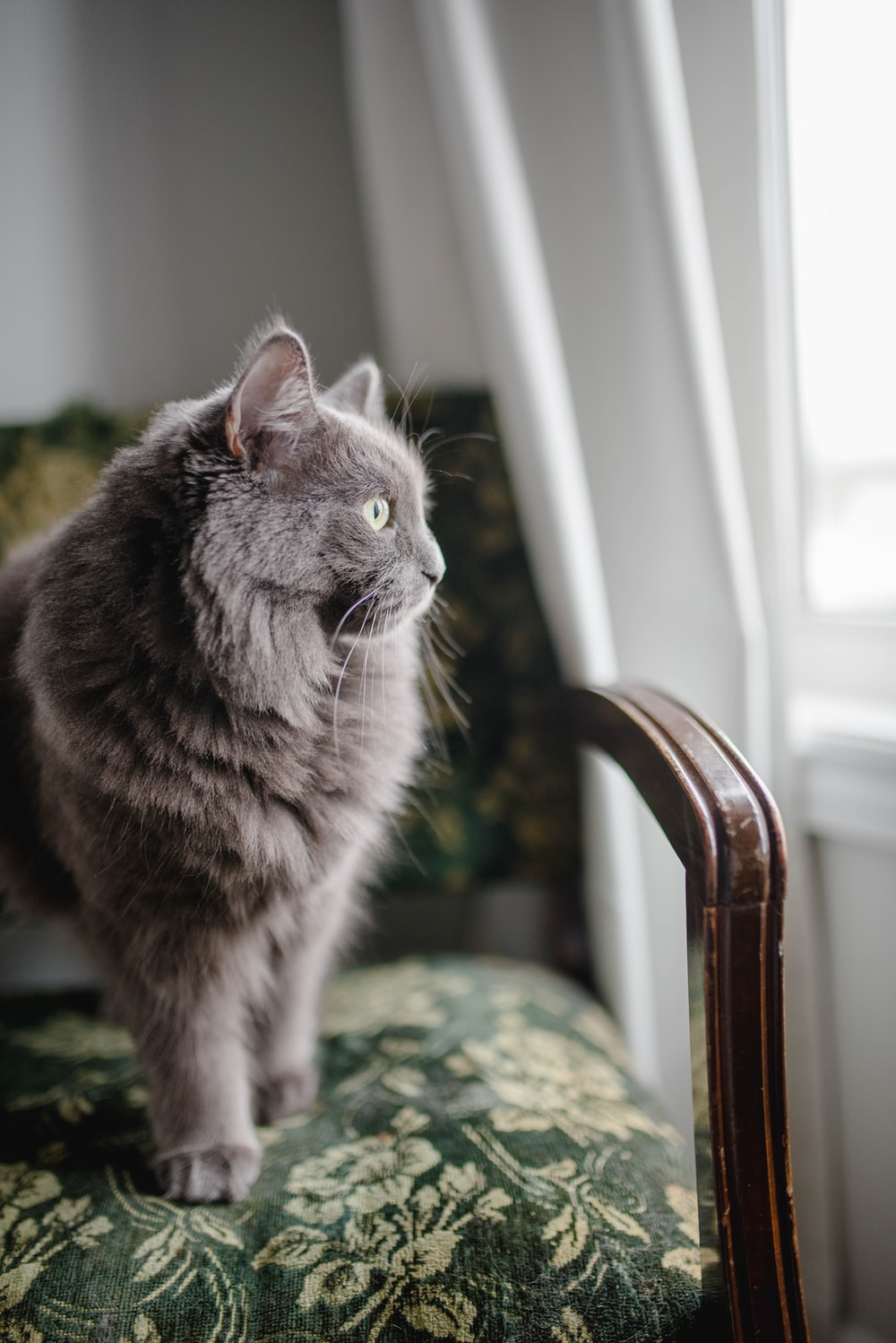 grey Persian cat sitting on padded chair