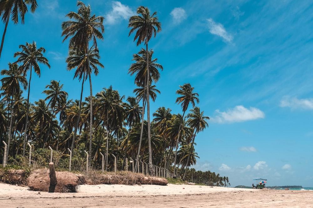 coconut tree in seashore
