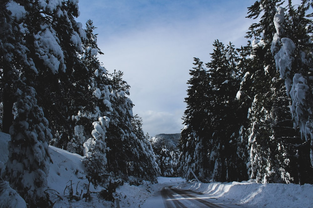 pine trees covered with snows under blue sky