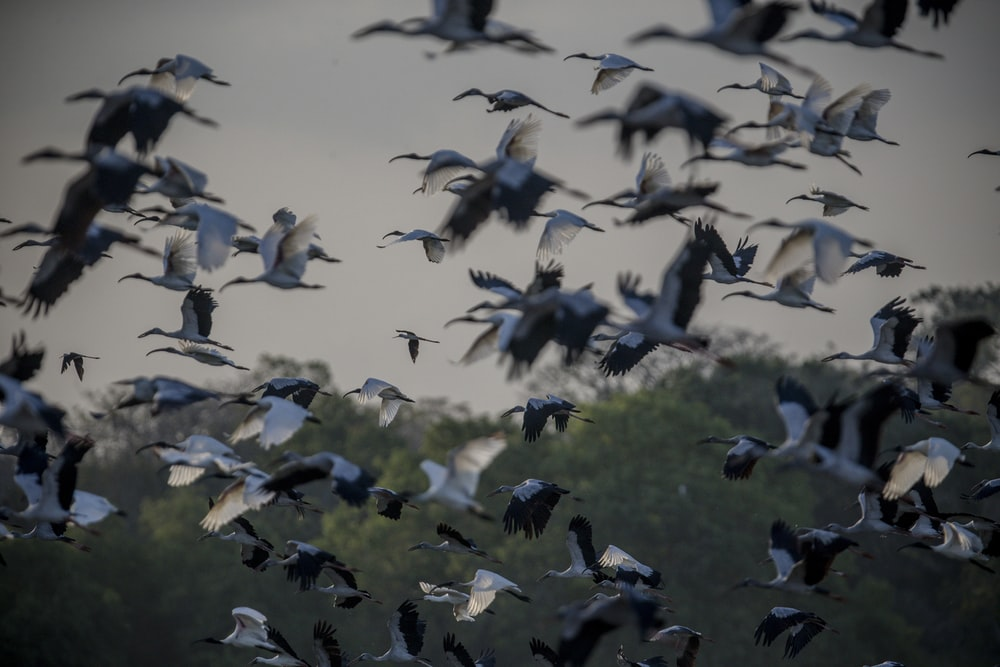 flock of white storks flying during daytime