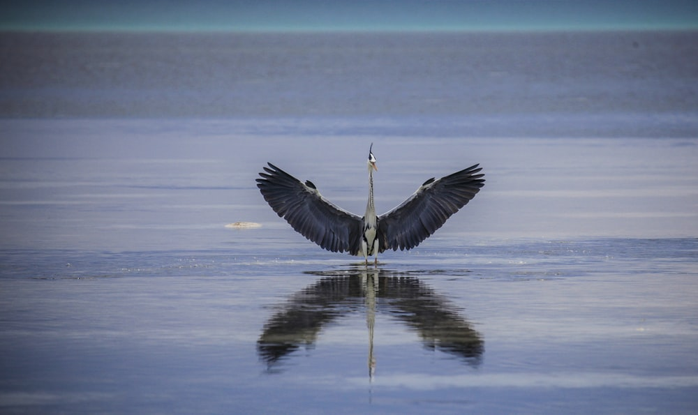 heron bird on water