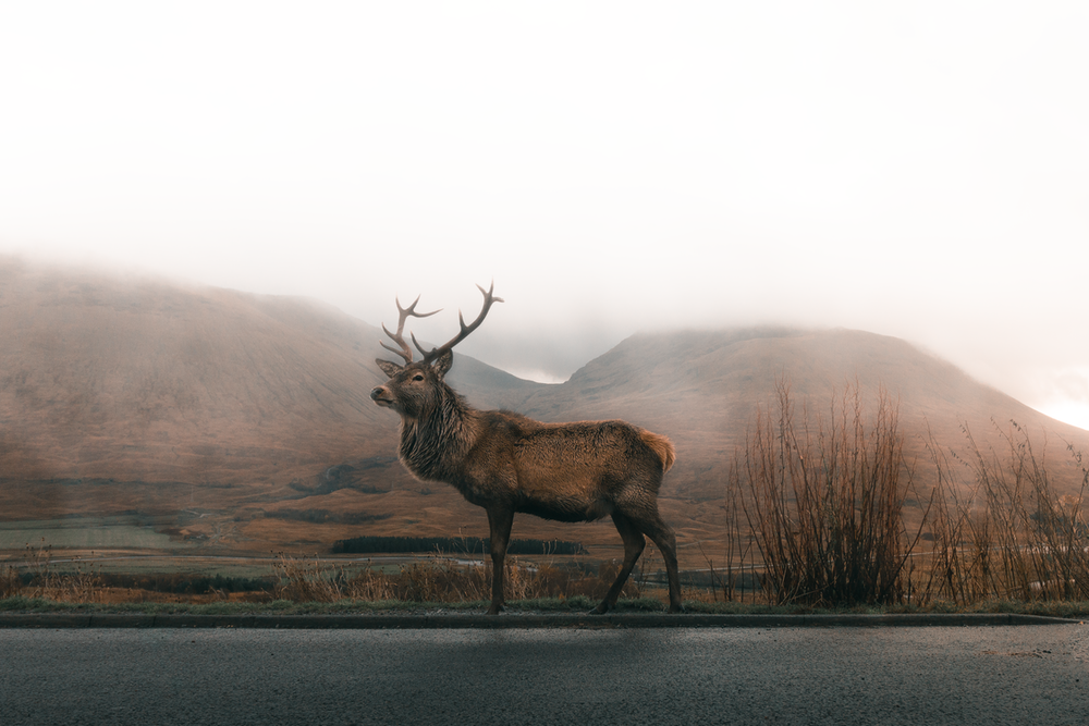 brown deer standing on the side of the road