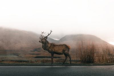 brown deer on road under gray sky deer teams background