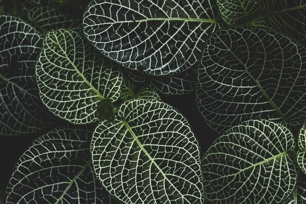 selective focus photography of fittonia plant