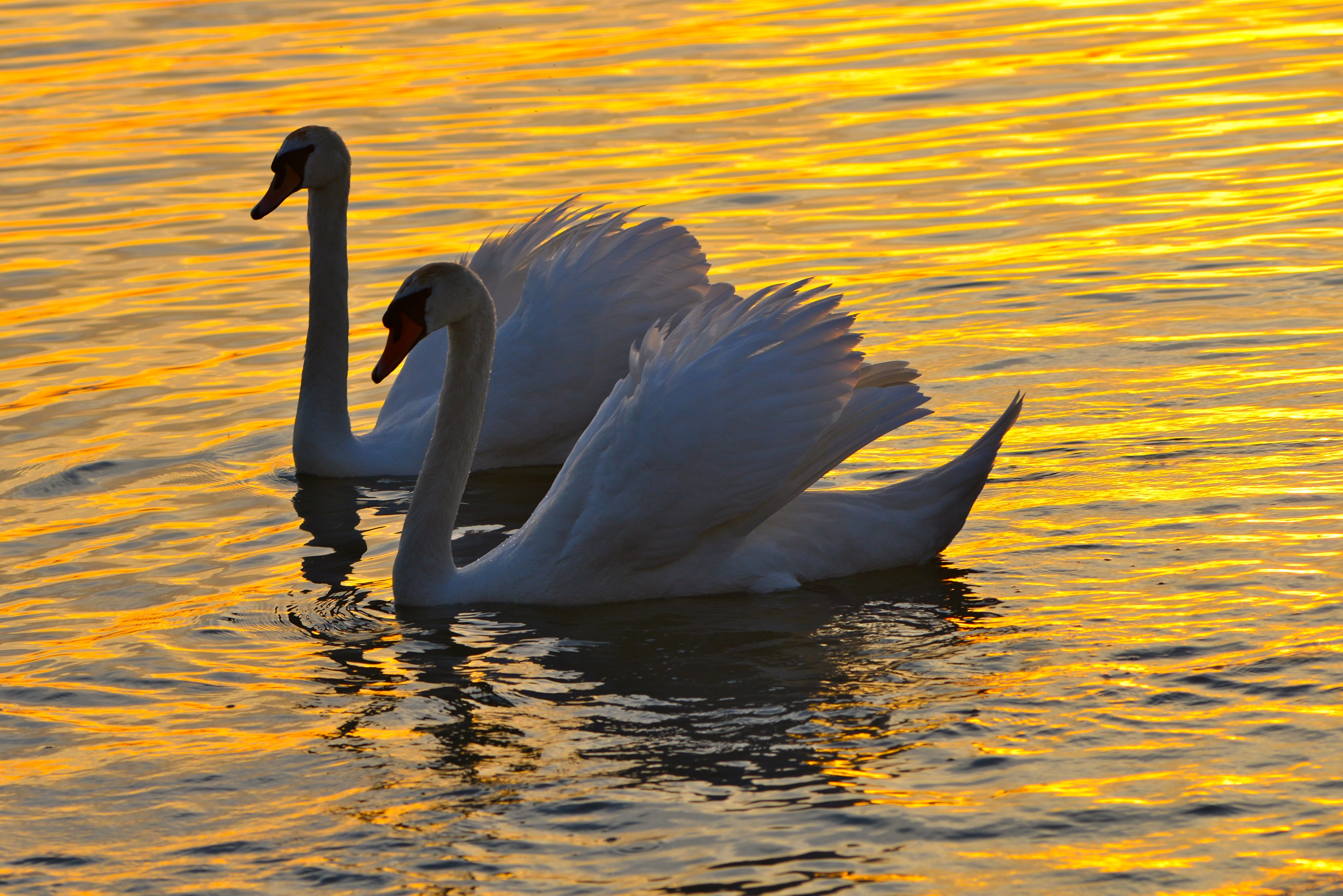 two white swans on body of water