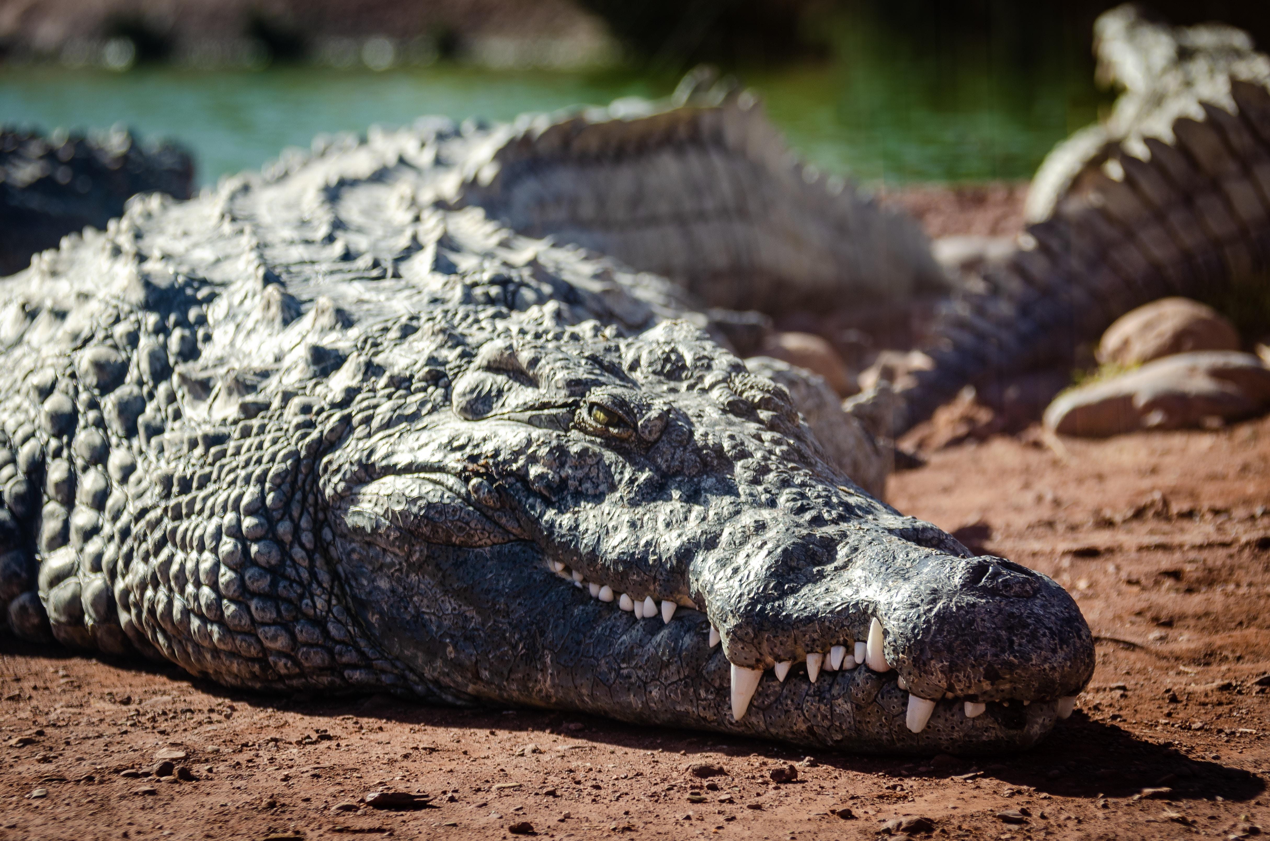 selective focus photography of gray crocodile
