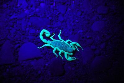 Midnight scorpion