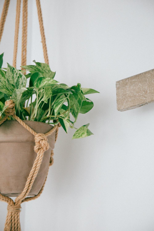 green arrow-head leaf plant