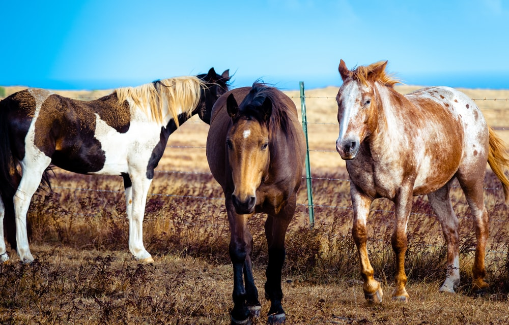three brown-and-white horses standing in brown field