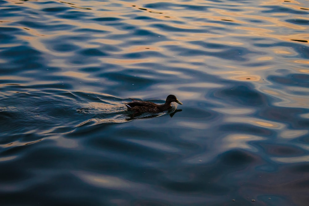 black duck on body of water