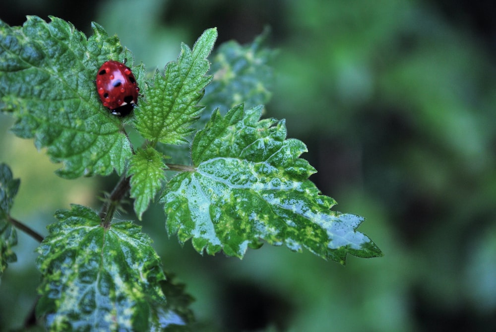 red ladybug on green plants in selective focus photography