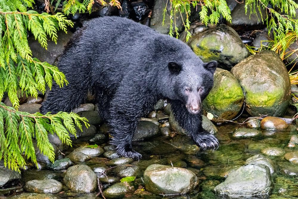 black bear standing on river during daytime