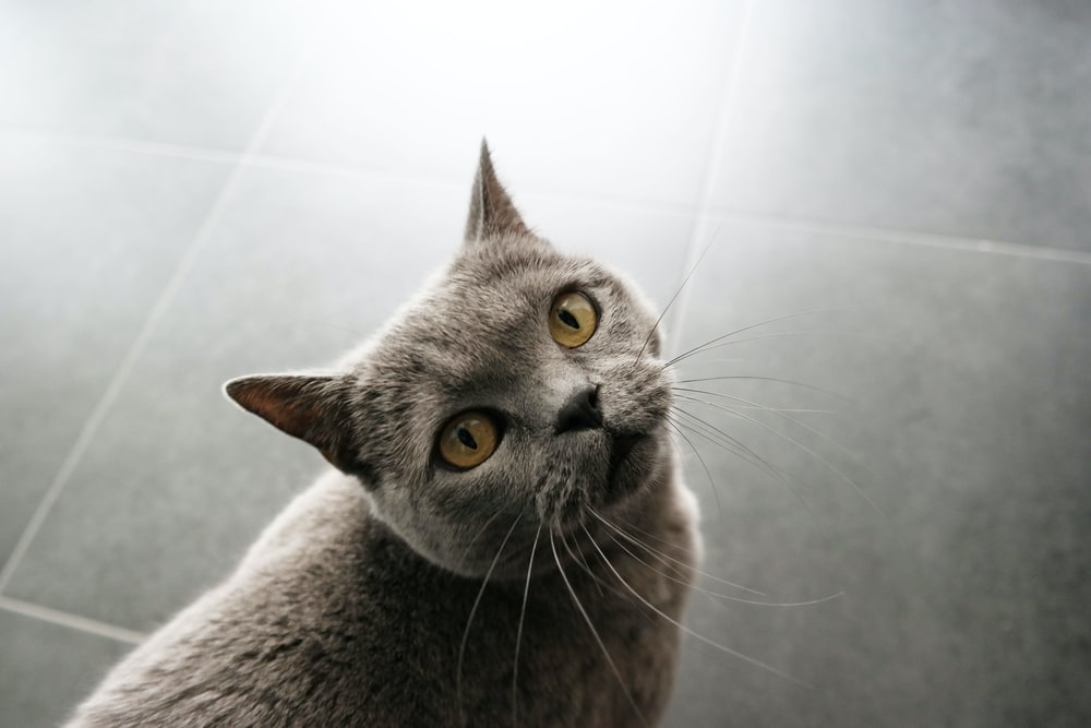 short-fur gray cat on gray tiled floor