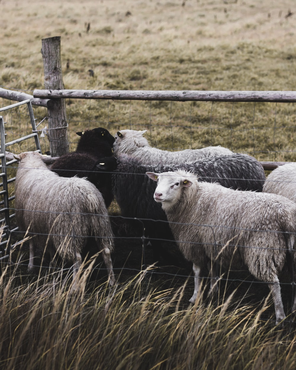 group of sheep in cage