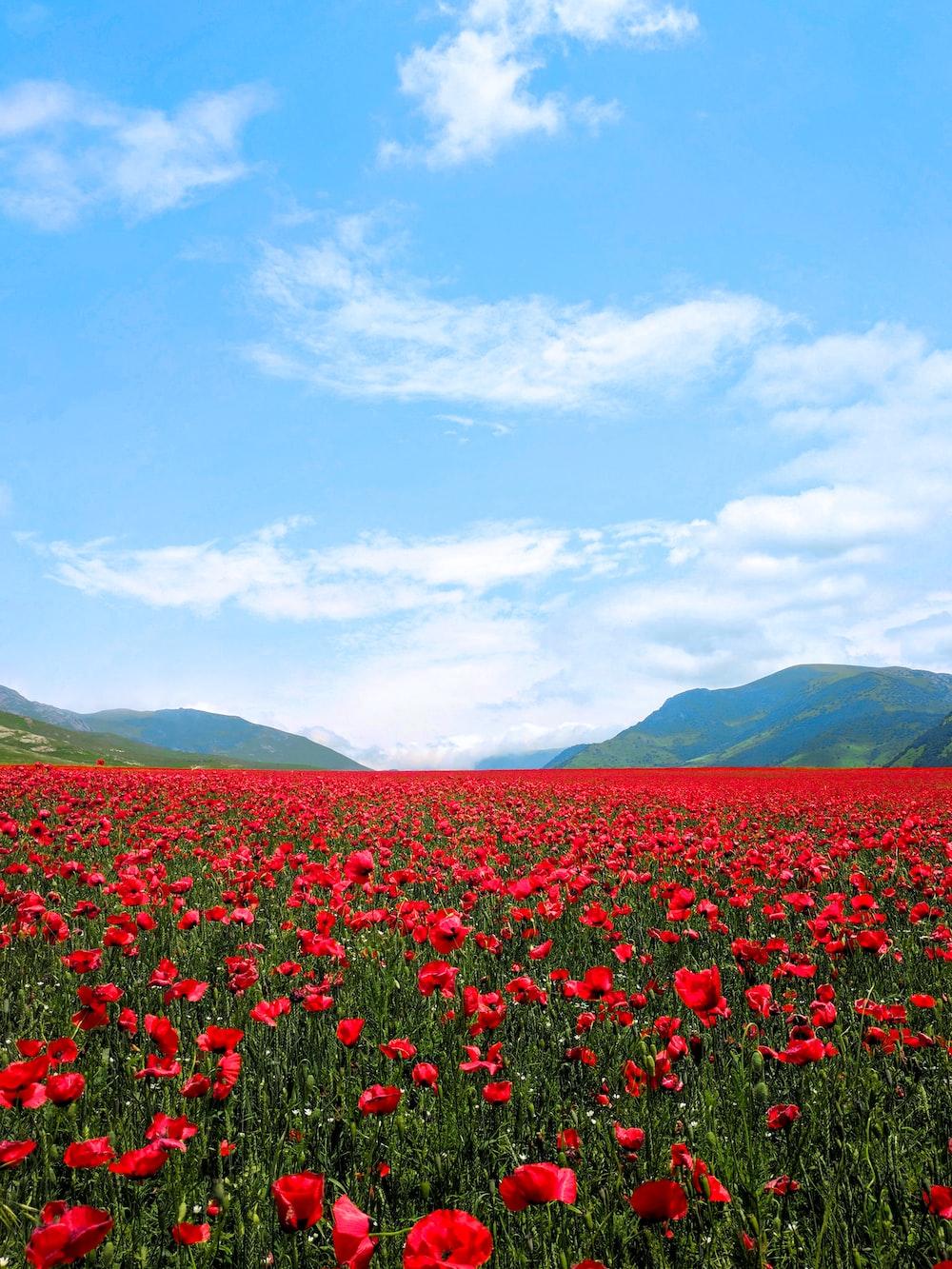 red flower field