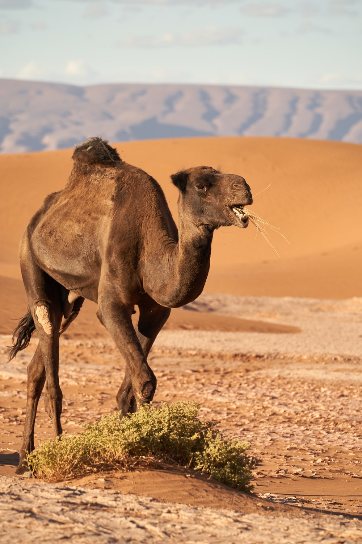 brown camel at field