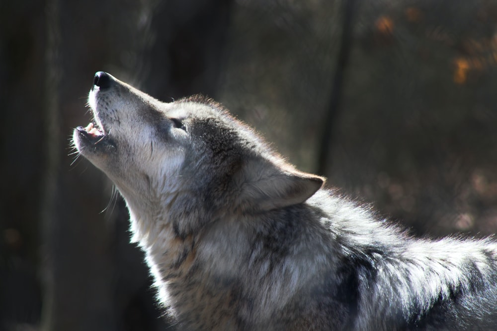 close-up photography of howling wolf