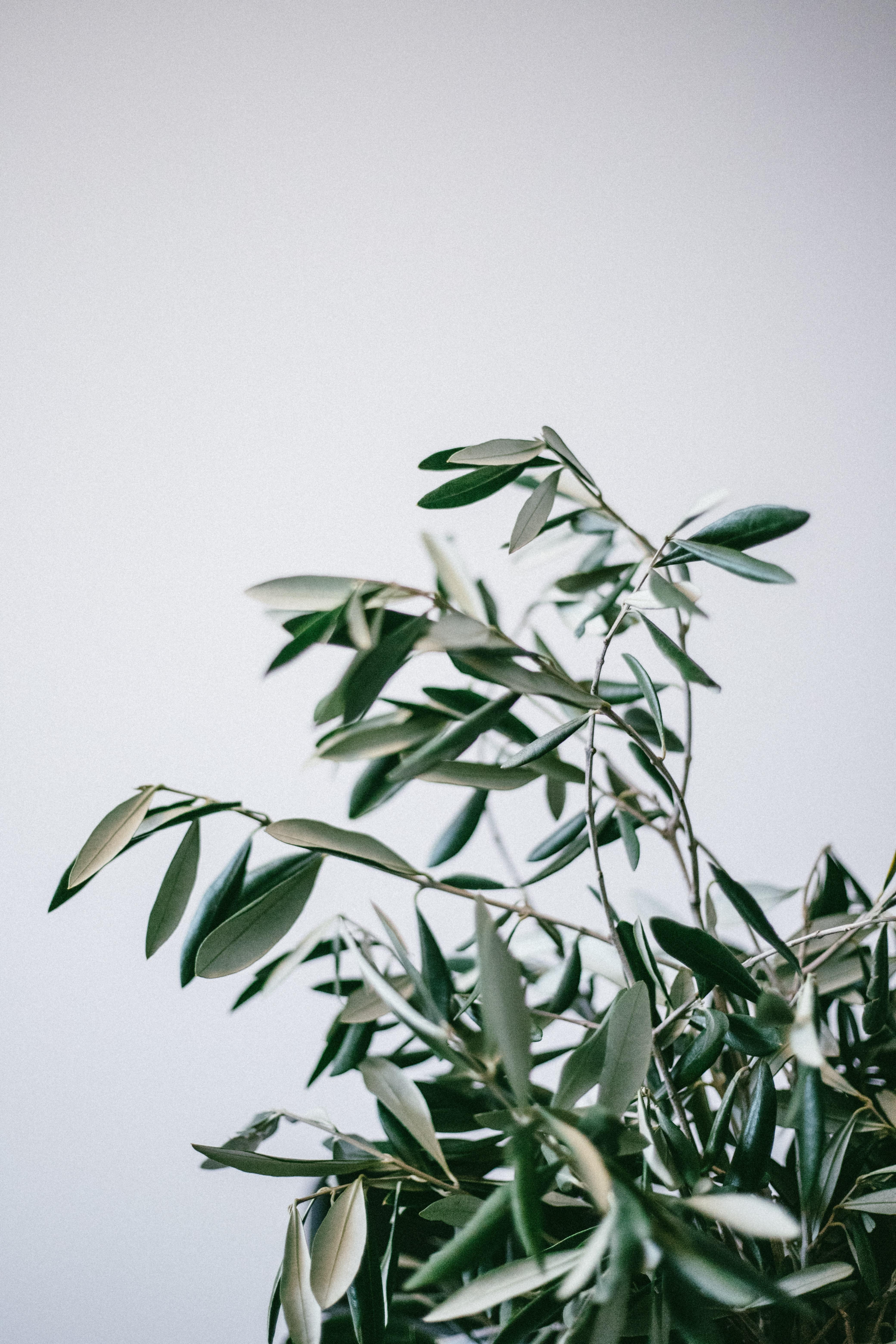 Olive Branch Pictures Download Free Images On Unsplash