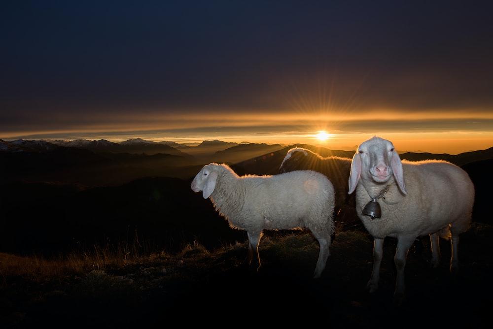 herd of white sheeps on hill during sunrise