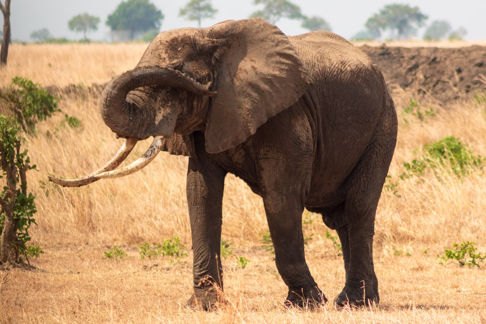 black elephant roaming on dried field at dayime