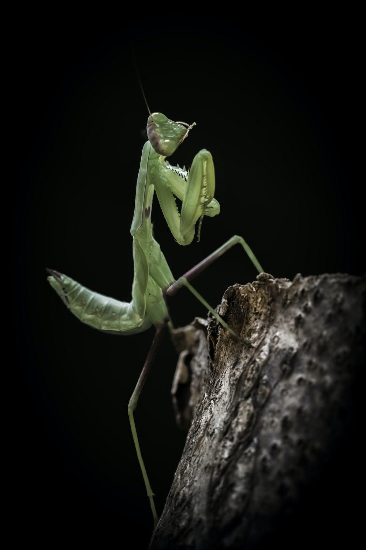 green praying mantis on gray wooden stick