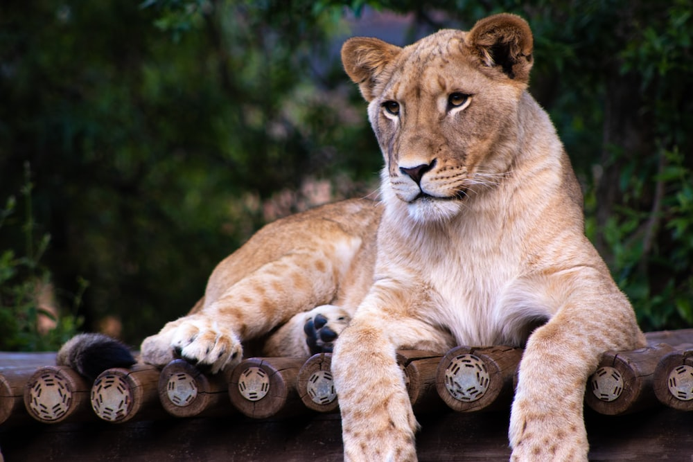 brown lioness lying on wooden platform