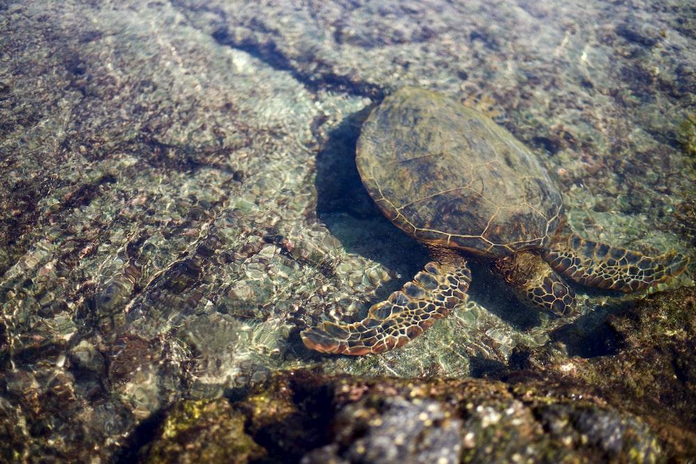 brown turtle on rock