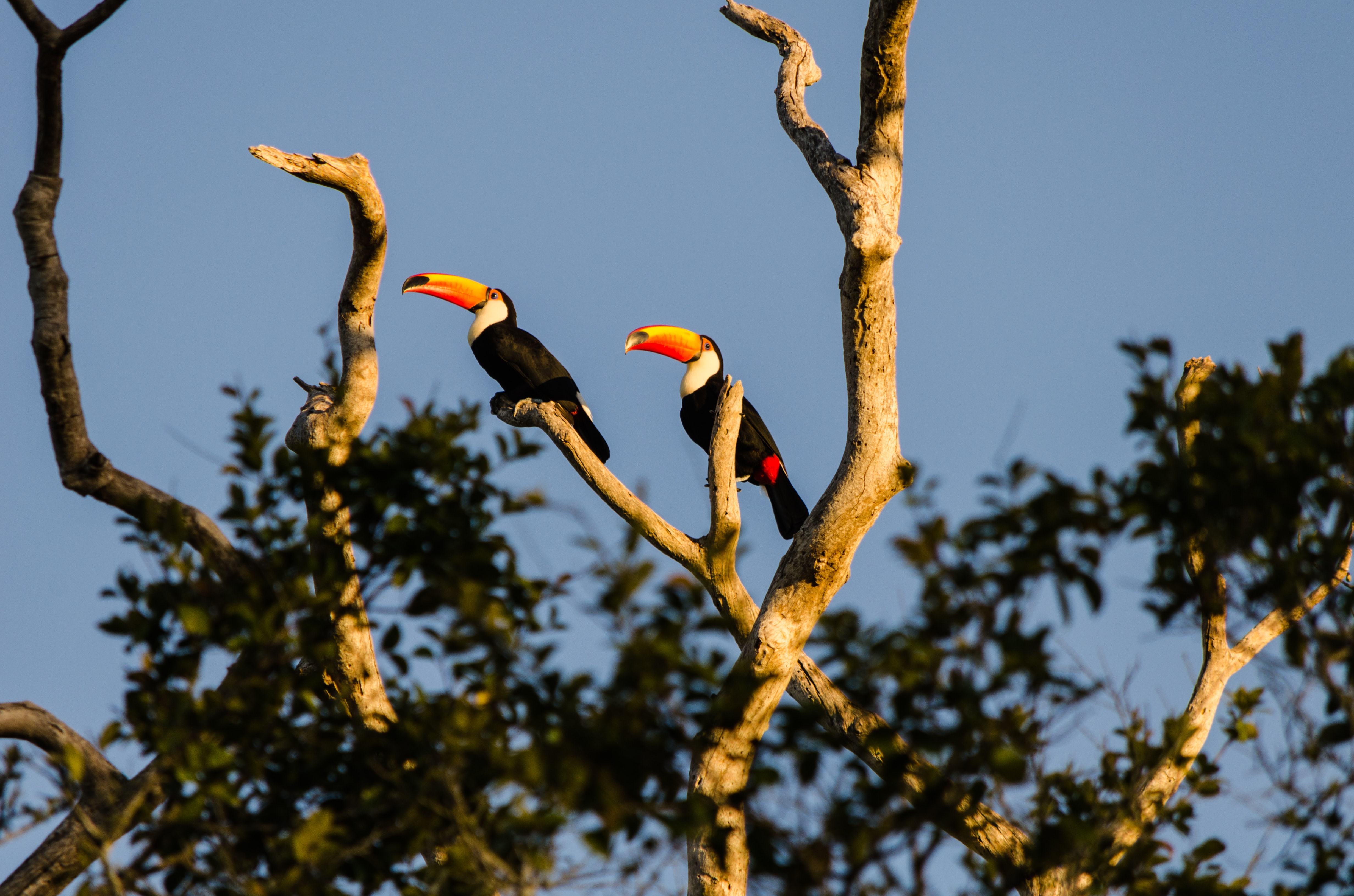 two toco toucans perching on branch