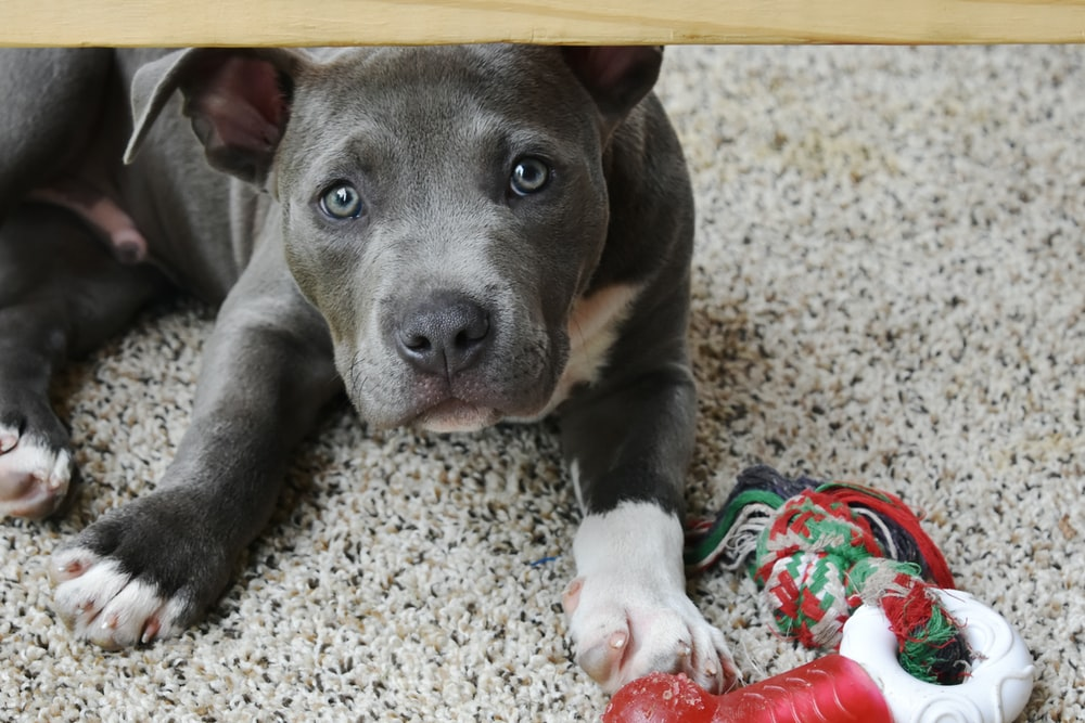 blue American pit bull terrier puppy
