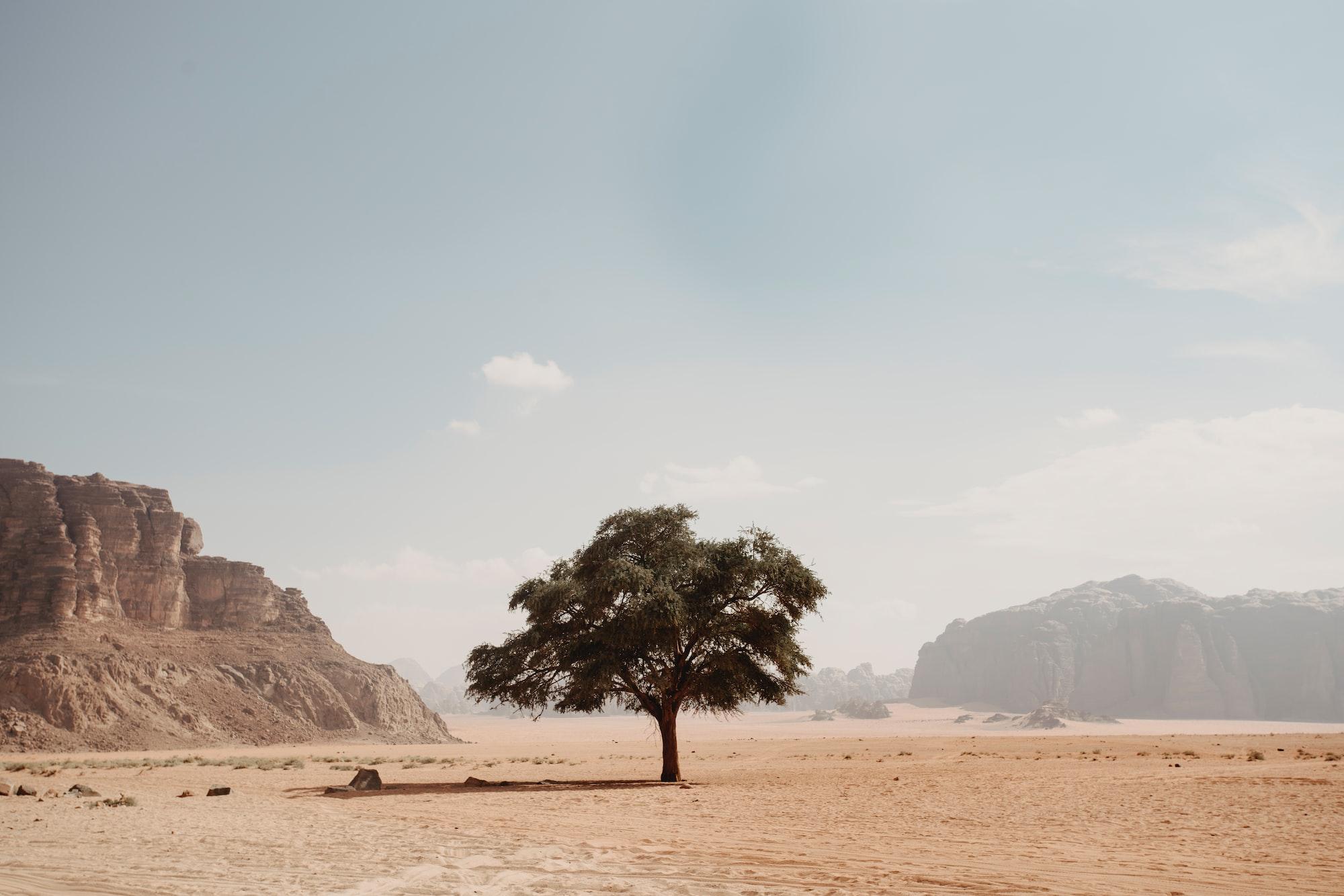 Alone tree has grown in the middle of Jordan desert.