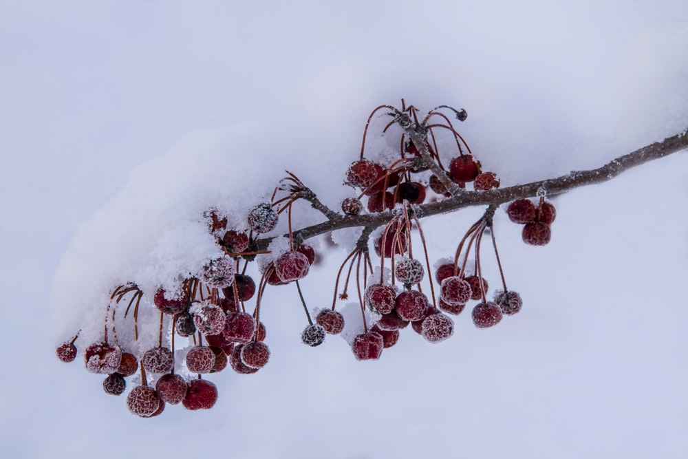 red fruits on snow