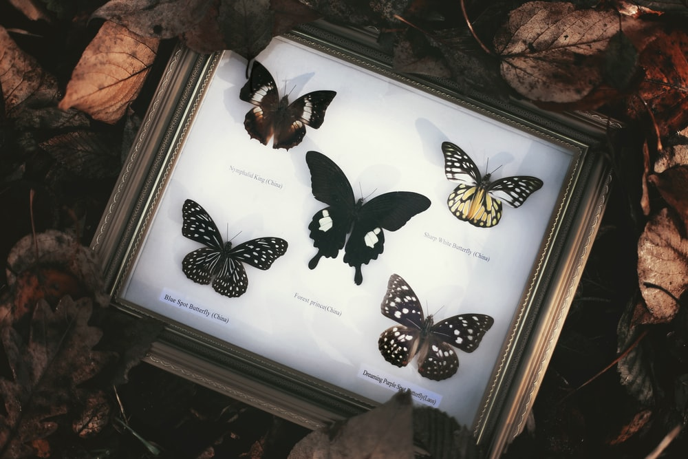 five butterflies with frame