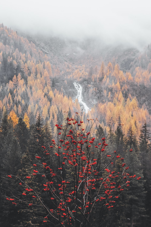 red flowering tree near pine trees