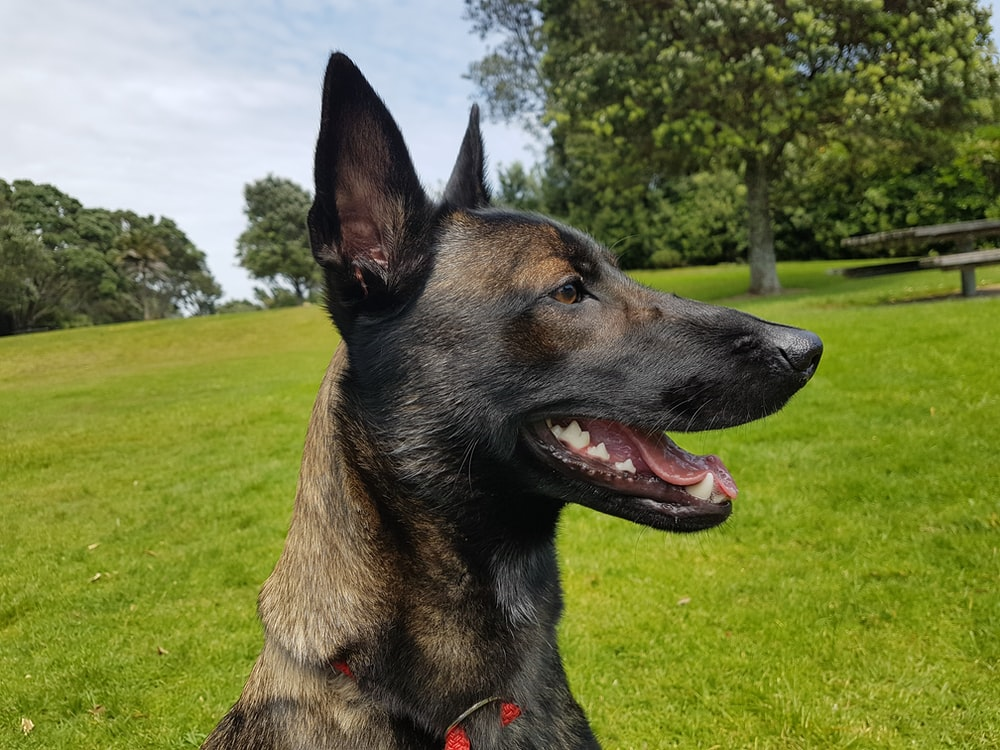 brown and black german shepher dog