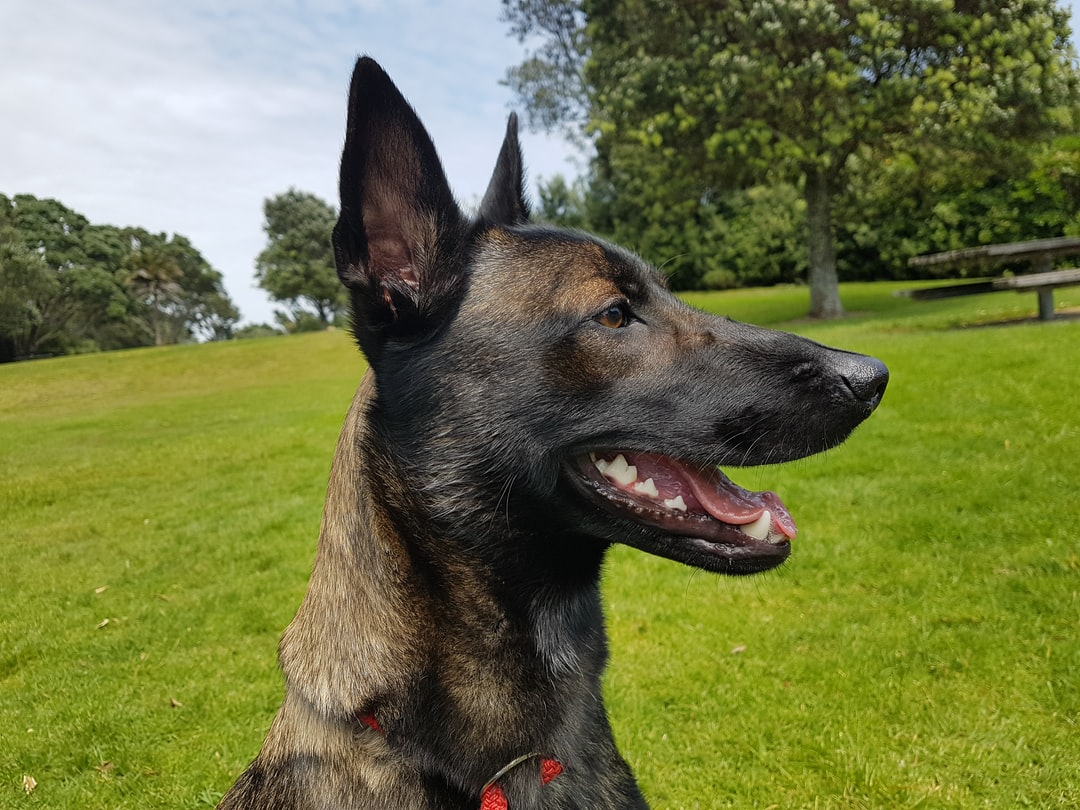 """If there was a picture to define the term """"loyal dog"""" Raven's photo would be next to the term. She is an amazing dog, loyal, full of fun and always willing to do stuff with you! An absolute joy to live with! She's also my demo dog in my dog training business and she helps me train client dogs."""