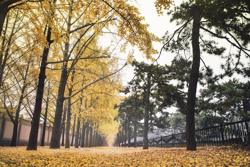 yellow sakura tree photography