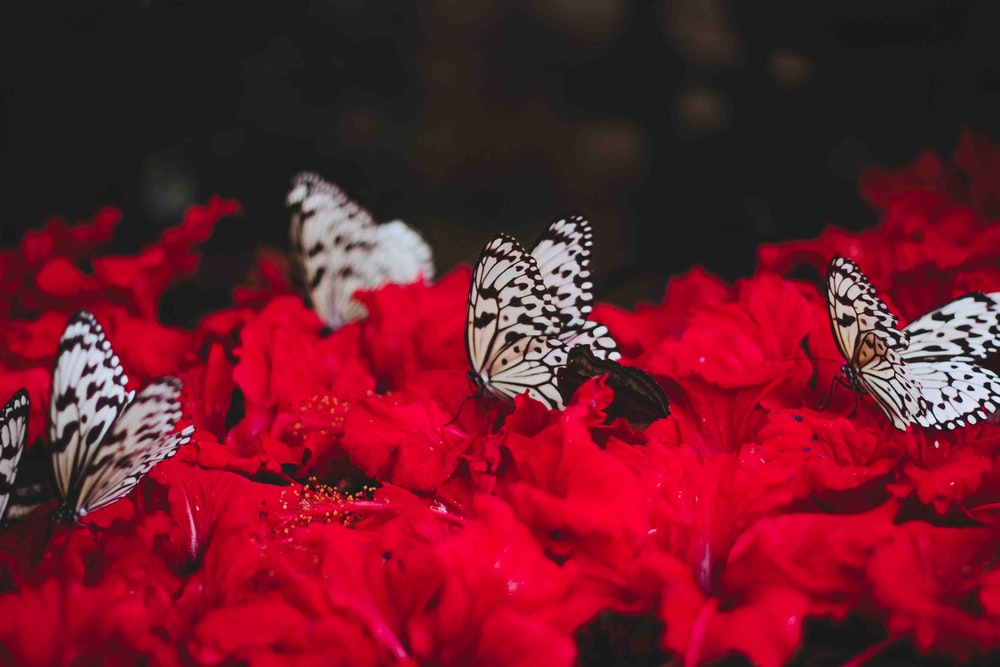 white butterflies standing of red flowers