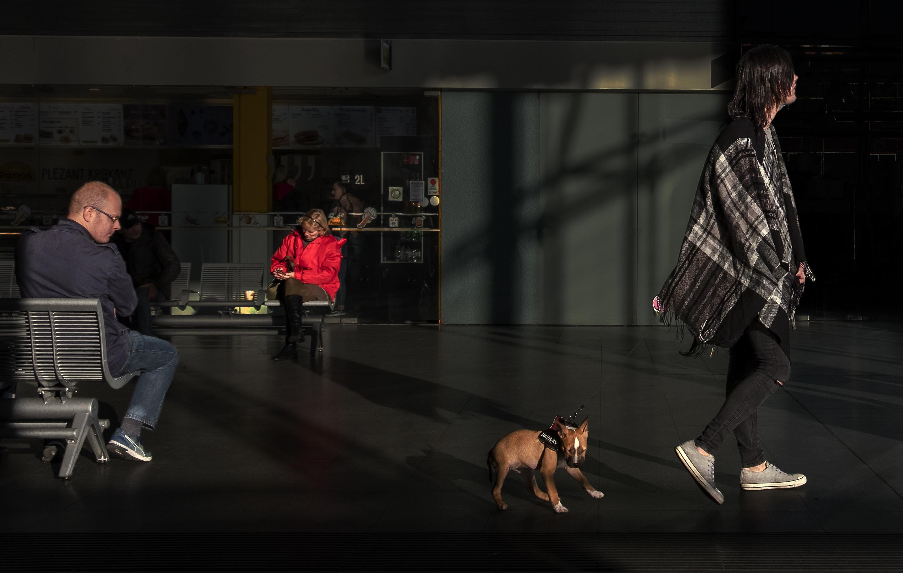 brown dog walking behind woman