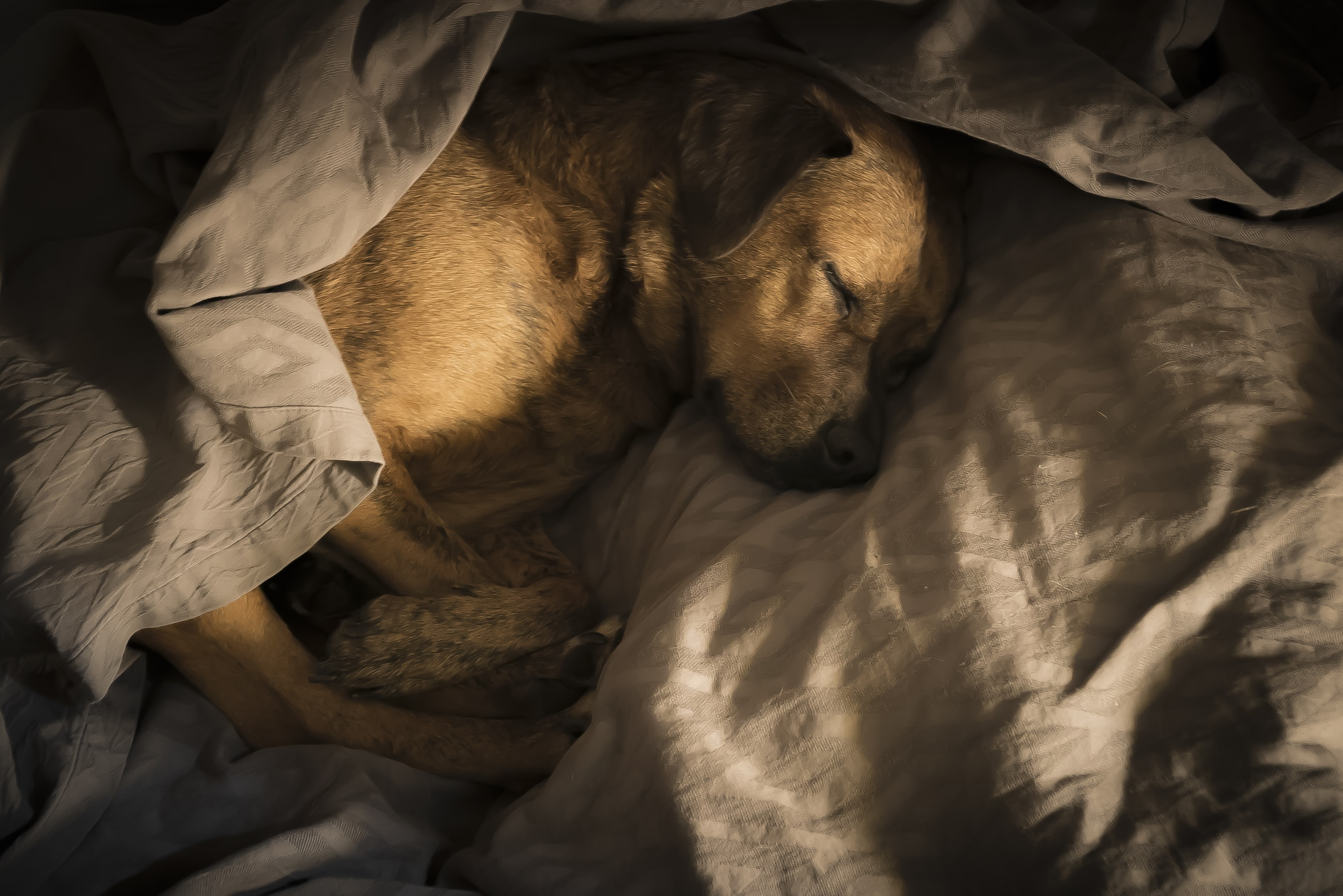 short-coated brown dog wrapped with blanket