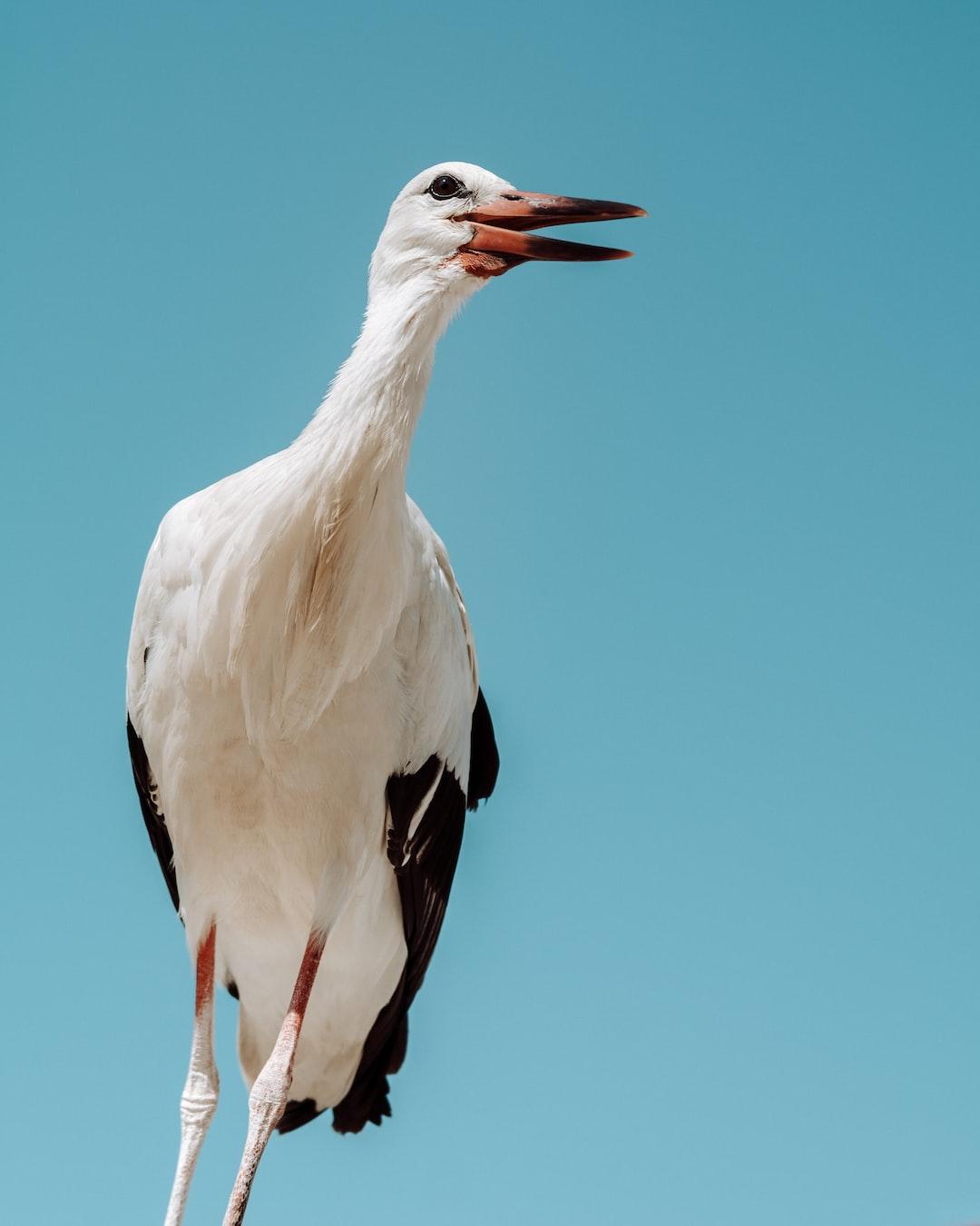 Human-Friendly White Stork