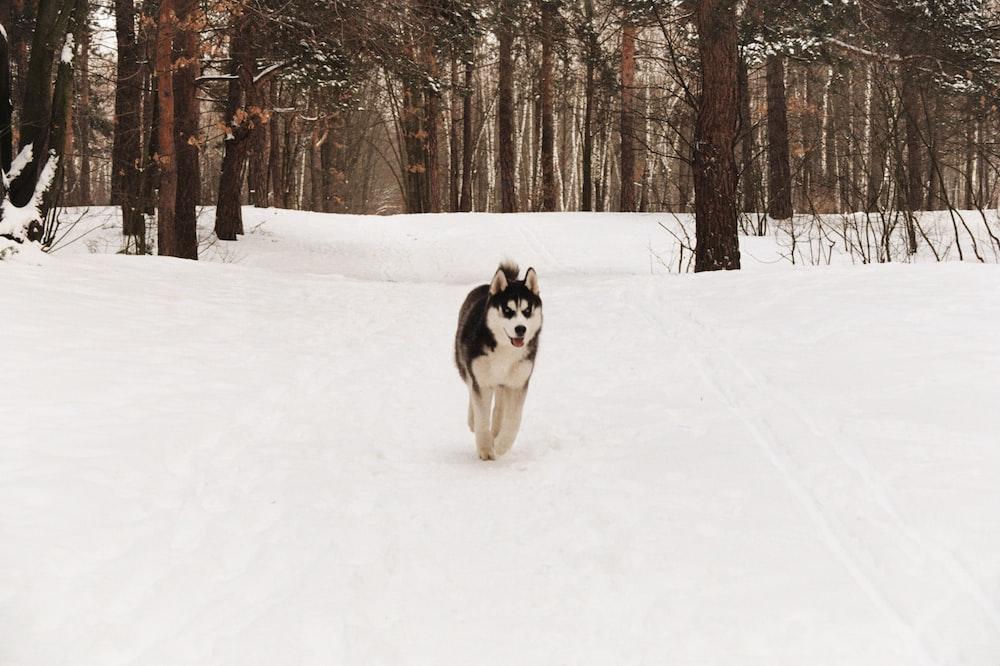 devil mask Siberian Husky running on snow covered road