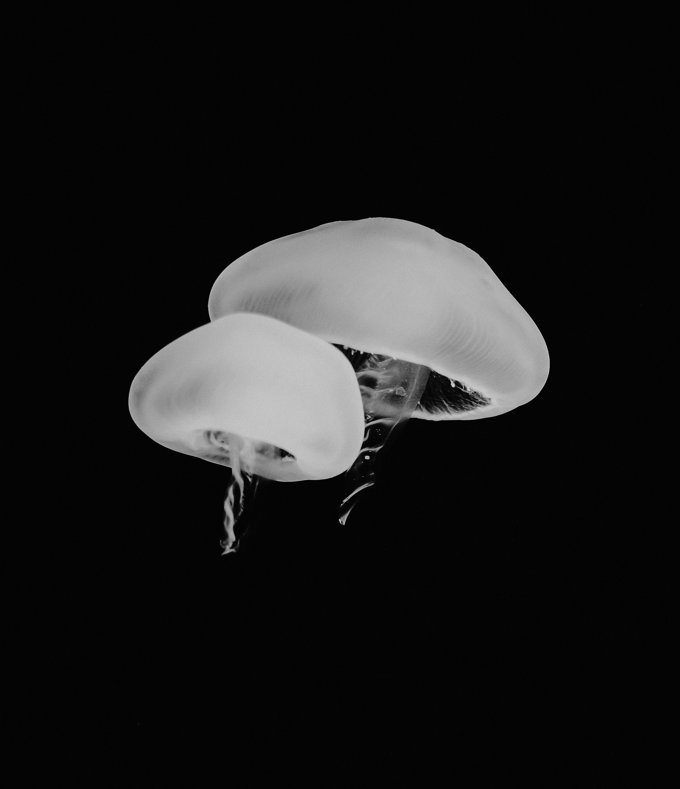 grayscale photo of jellyfish